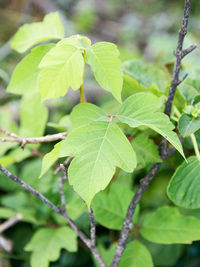 The Differences Between Poison Ivy Poison Oak And Poison