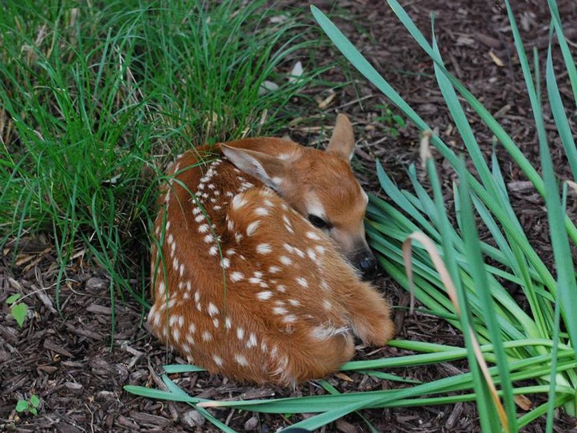 Little Fawn Curled Up Laying In Grass