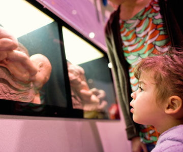 little girl looking at models of fetal development