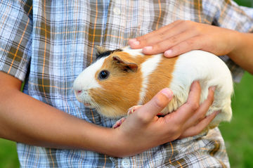 A child holds a guinea pig