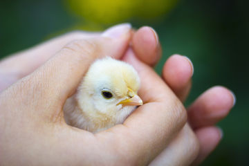 baby chick in hand